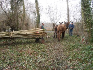 débardage de perches de yourte avec des ânes